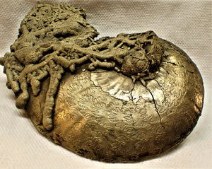 Large high-quality Oxynoticeras ammonite (92 mm)