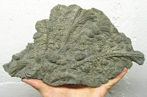 Large pyrite crinoid colony (270 mm)