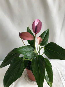 ANTHURIUM 4 IN