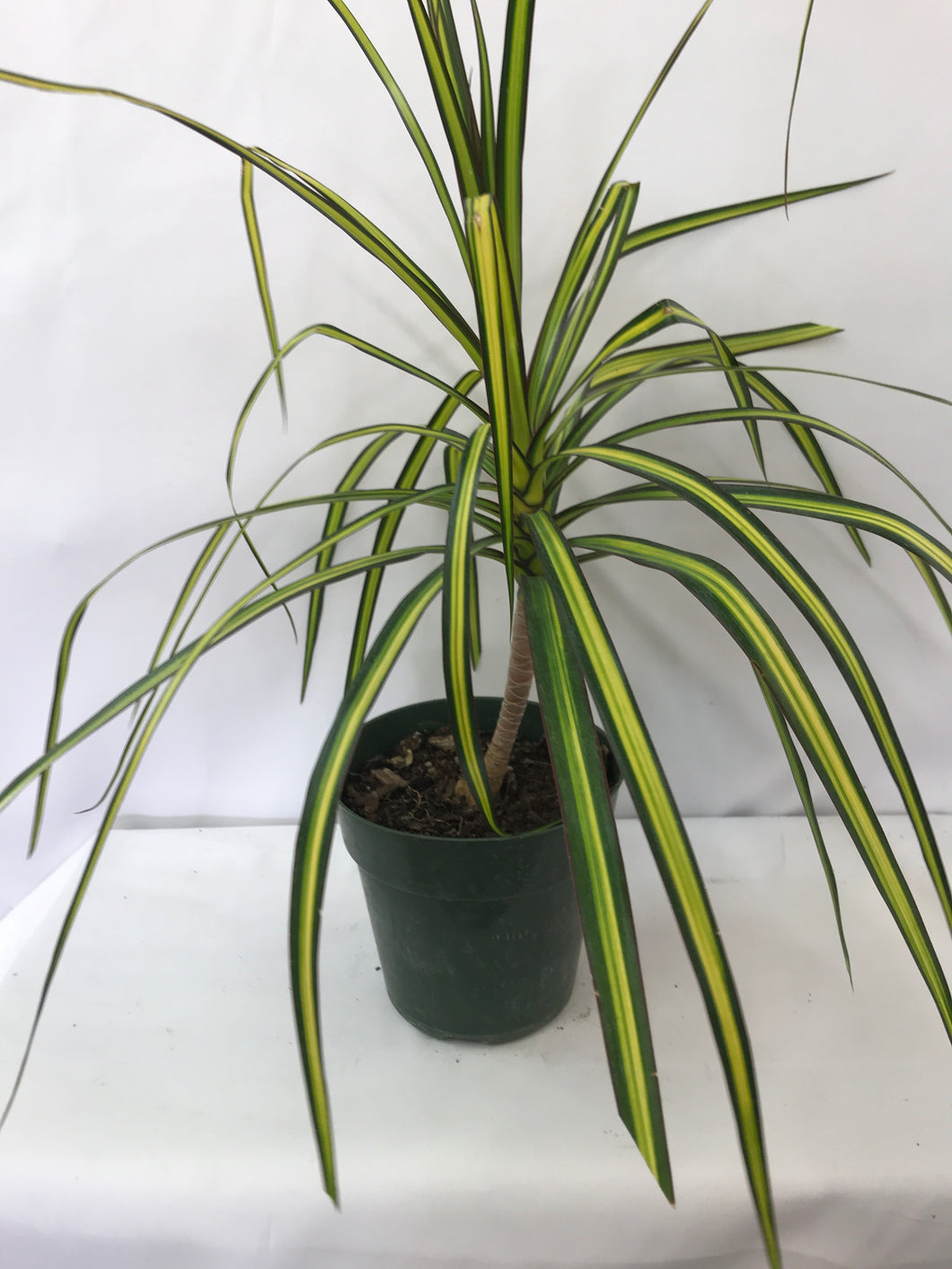 DRACAENA MARGINATA 6 IN SUNRAY KIWI CAN