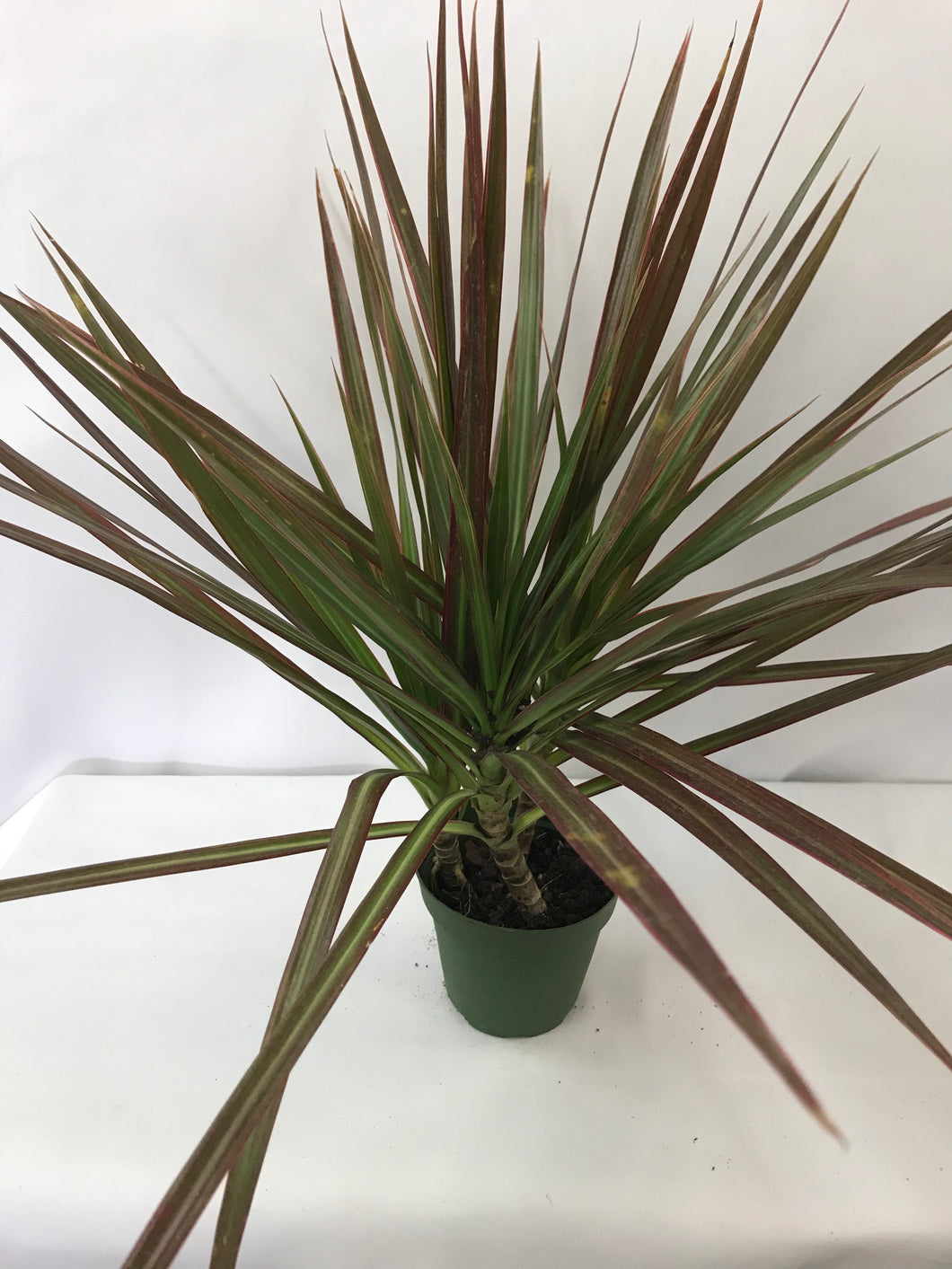 DRACAENA MARGINATA 4 IN