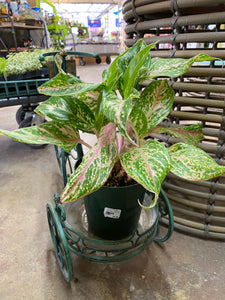 AGLAONEMA HYBRD ASST 6 IN