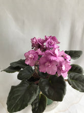 Load image into Gallery viewer, AFRICAN VIOLET 4 IN