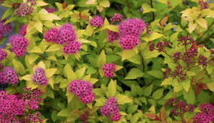 Spirea 'Magic Carpet' (#3 cont)