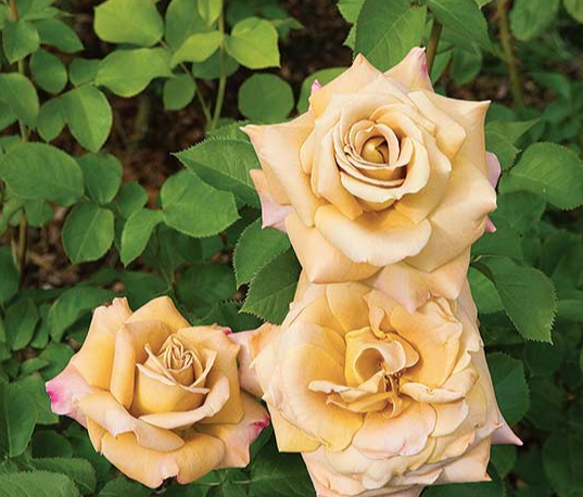 Grandiflora Rose Bush