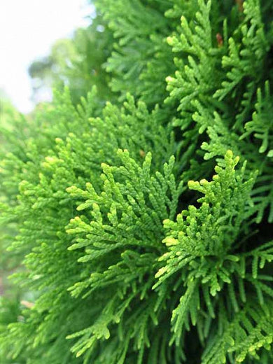 Arborvitae - Thuja 'Occidentalis Smaragd' (#3)