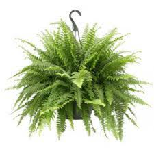 Boston Fern Hanging Basket, 10""