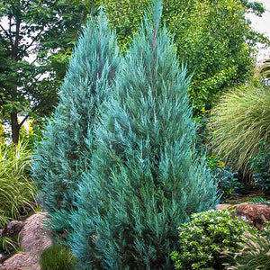 Juniper 'Chinensis Blue Point' (#3 Cont.)