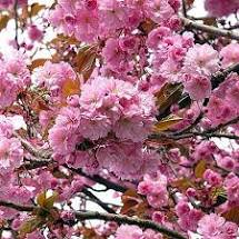 Cherry, Prunus kwnazan, Flowering Cherry, G5