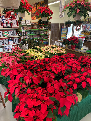 "(3)Poinsettias- 6.5""size"