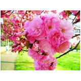 Cherry, Prunus kwanzan, Kwanzan Flowering Cherry, G 15