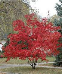 Maple, Acer ginnala 'Flame', Amur Maple, G15