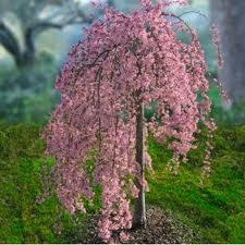Weeping Cherry, Prunus sub Pink Snow Showers,G7