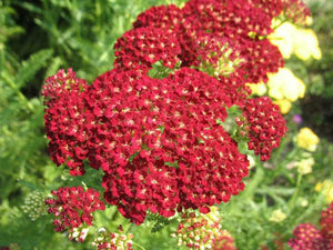 Yarrow, New Vintage Rose (#1 cont)