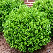 Boxwood, Buxus M. 'Winter Gem', G3