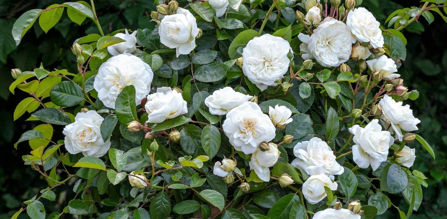 Rose bushes for Austria. We deliver bare root and potted garden roses all over Austria.