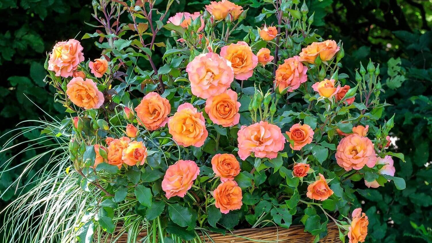 Rose bushes for Belgium. We deliver bare root and potted garden roses all over Belgium.