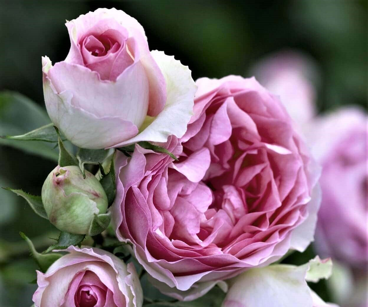 Rose bushes for Bulgaria. We deliver bare root and potted garden roses all over Bulgaria.