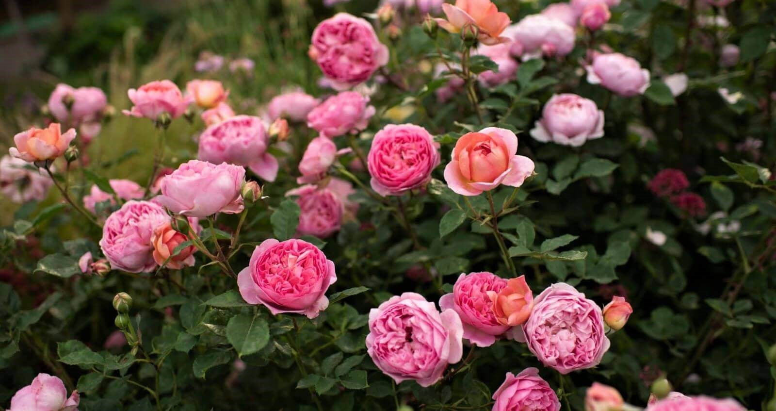 Rose bushes for Croatia. We deliver bare root and potted garden roses all over Croatia.