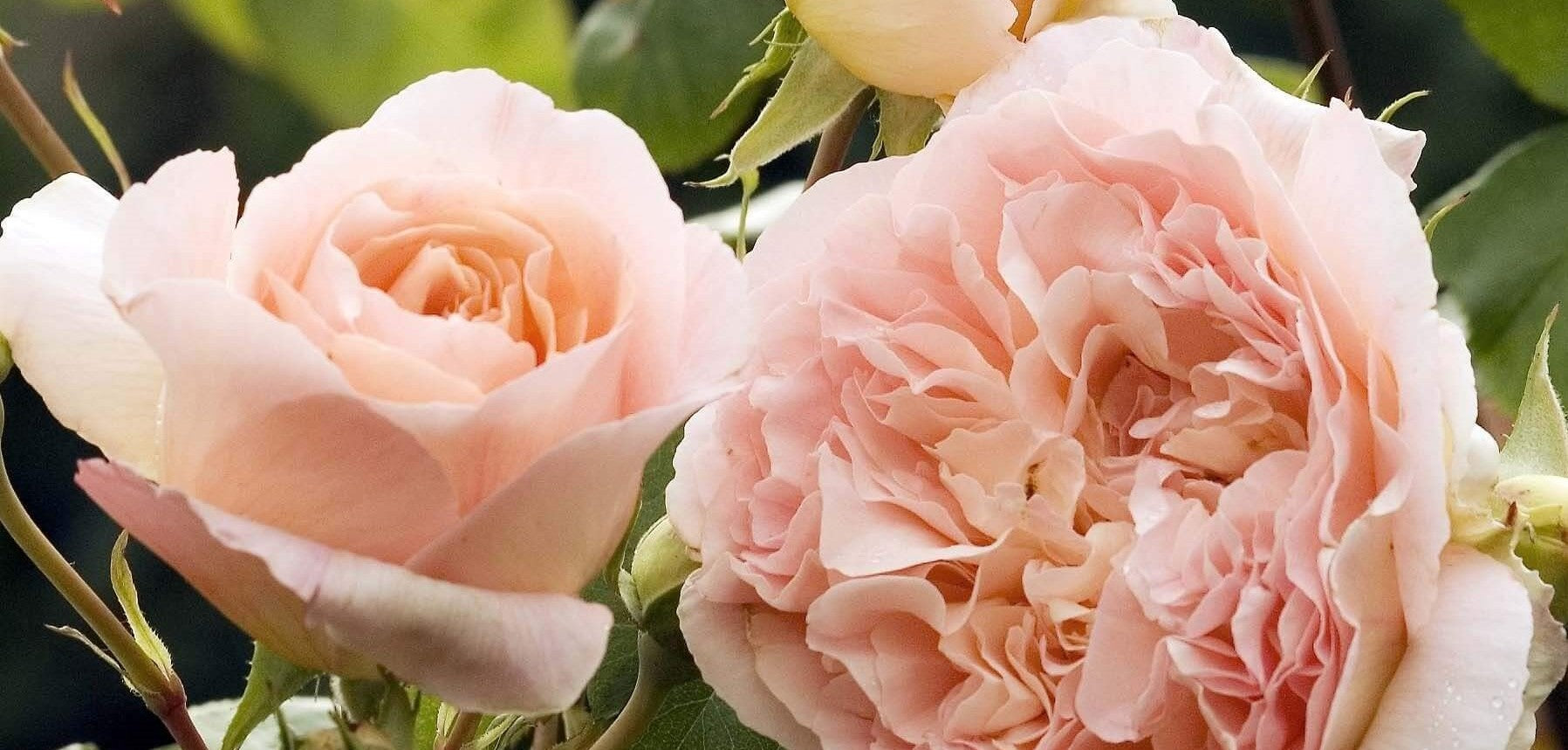 Rose bushes for Cyprus. We deliver bare root and potted garden roses all over Cyprus.