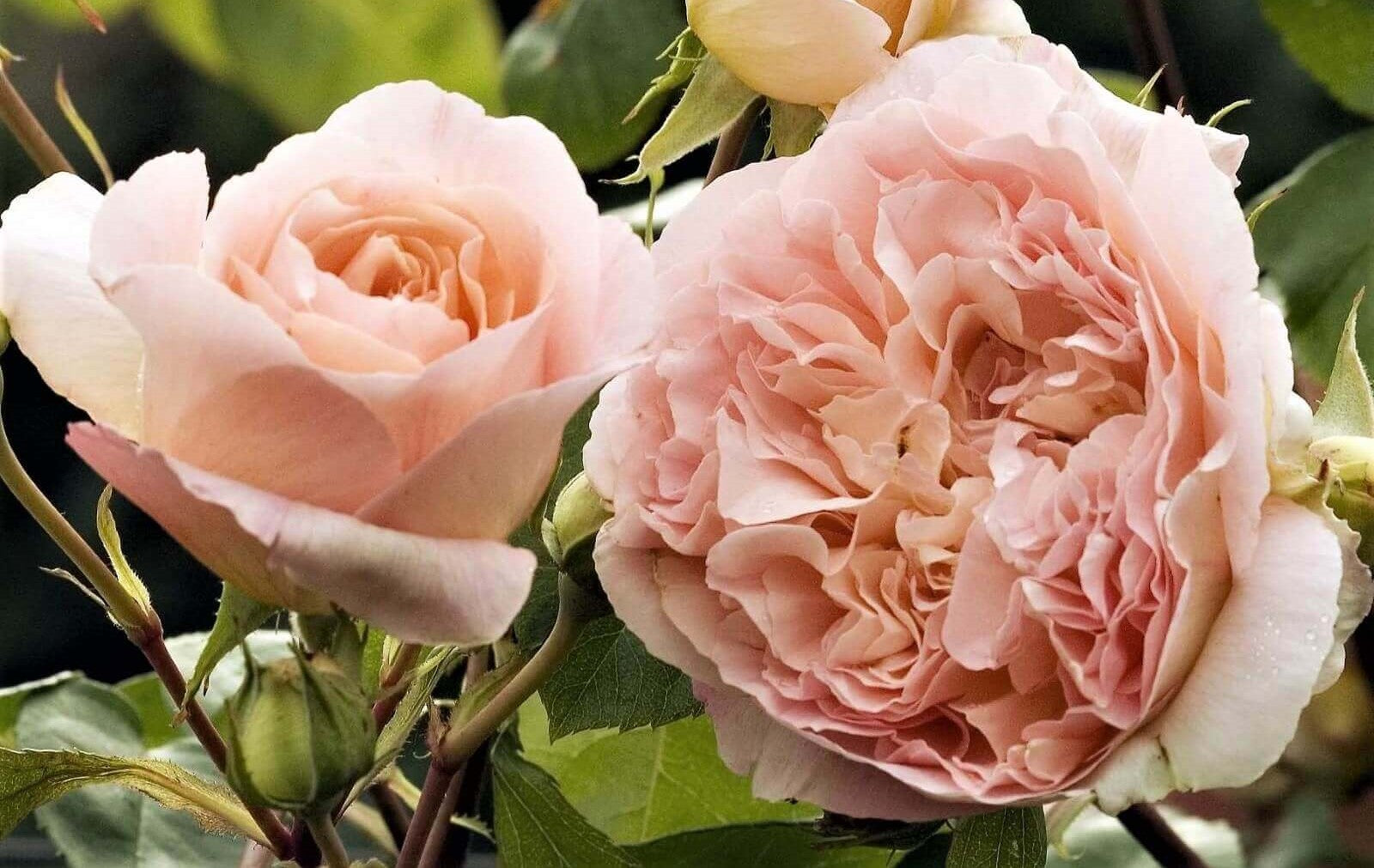 Rose bushes for Czech Republic. We deliver bare root and potted garden roses all over Czech Republic.