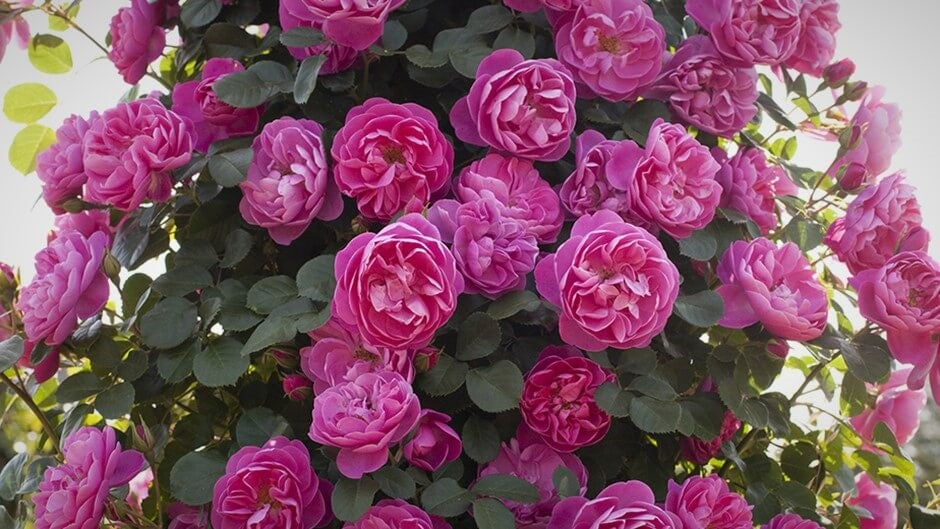 Rose bushes for Finland. We deliver bare root and potted garden roses all over Finland.