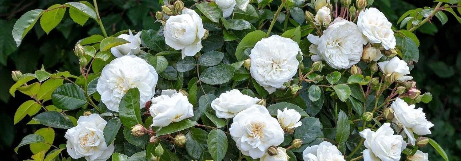 Rose bushes for Italy. We deliver bare root and potted garden roses all over Italy.