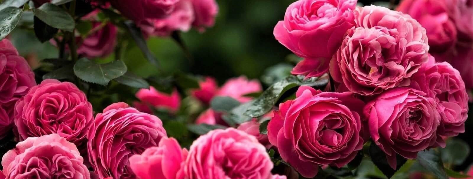 Rose bushes for Latvia. We deliver bare root and potted garden roses all over Latvia.
