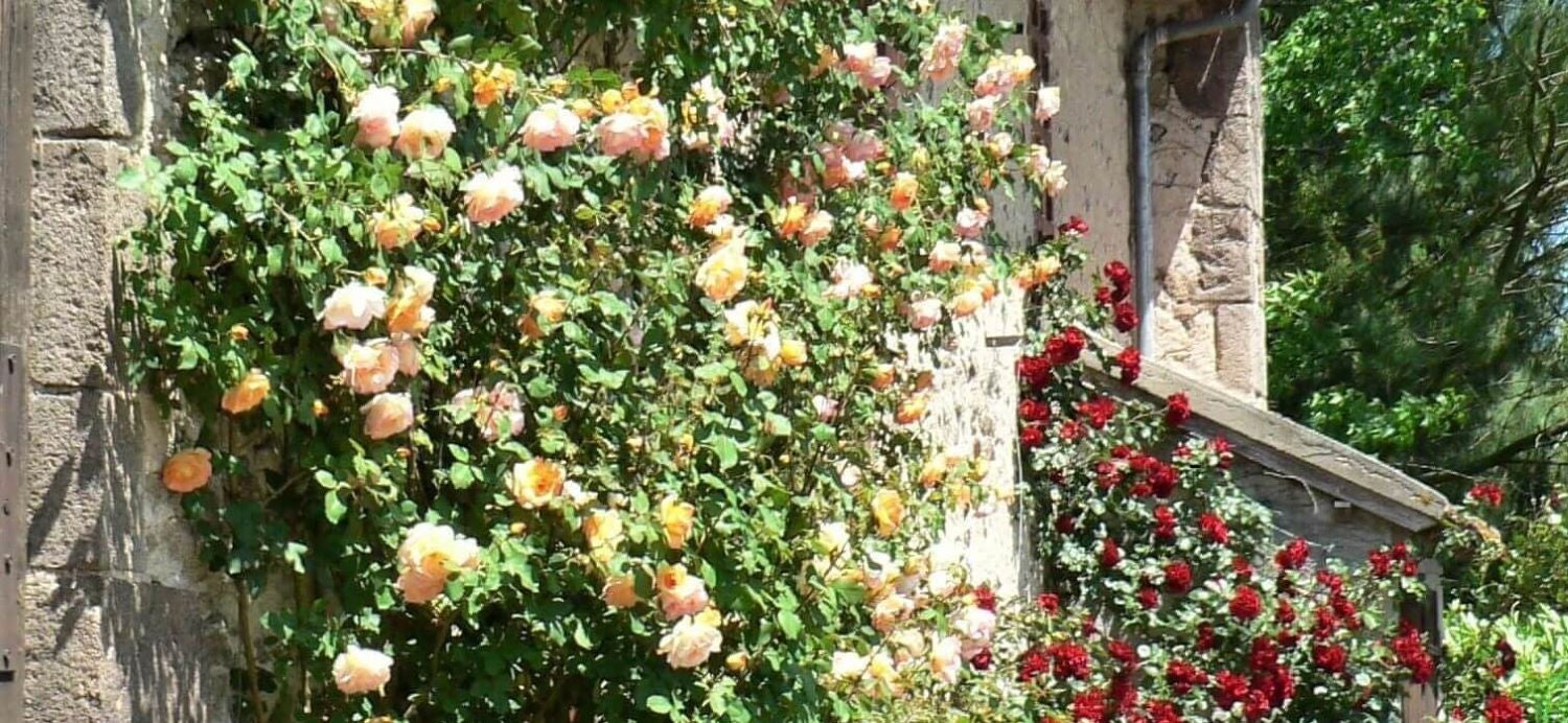 Rose bushes for Lituania. We deliver bare root and potted garden roses all over Lituania.