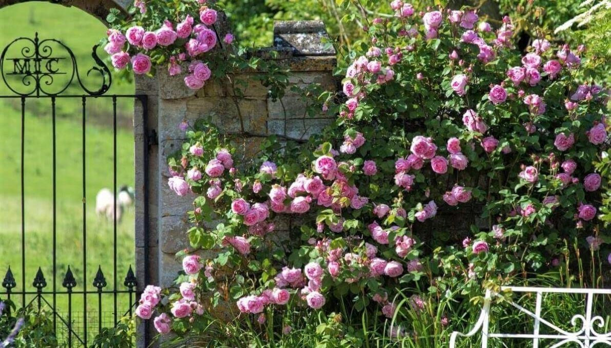 Rose bushes for Malta. We deliver bare root and potted garden roses all over Malta.