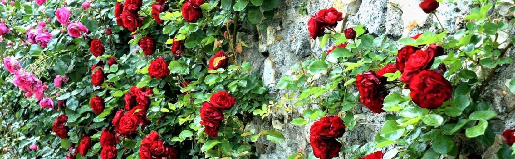 Rose bushes for Poland. We deliver bare root and potted garden roses all over Poland.