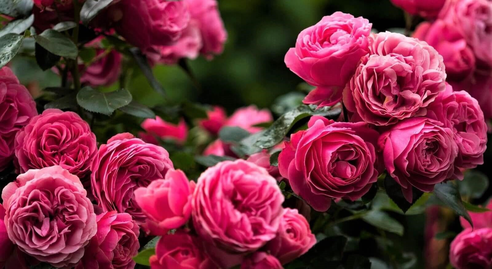Rose bushes for Portugal. We deliver bare root and potted garden roses all over Portugal.