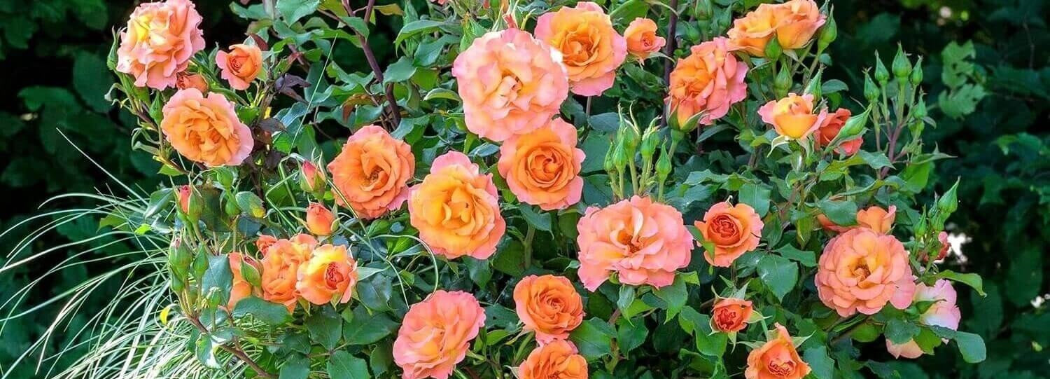 Rose bushes for Slovakia. We deliver bare root and potted garden roses all over Slovakia.