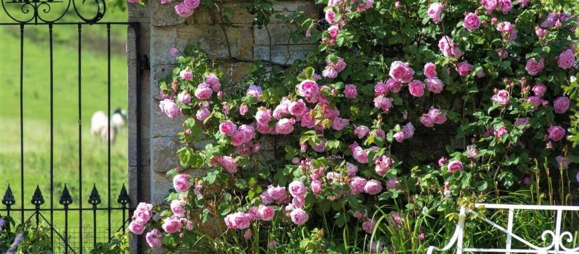 Rose bushes for Germany. We deliver bare root and potted garden roses all over Germany.