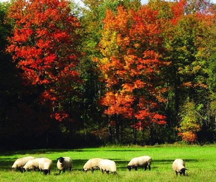 Sheep in fall