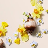 Narcissus Bulb Extract