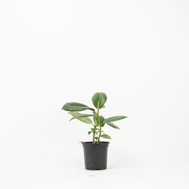 "4"" Rubber Tree"