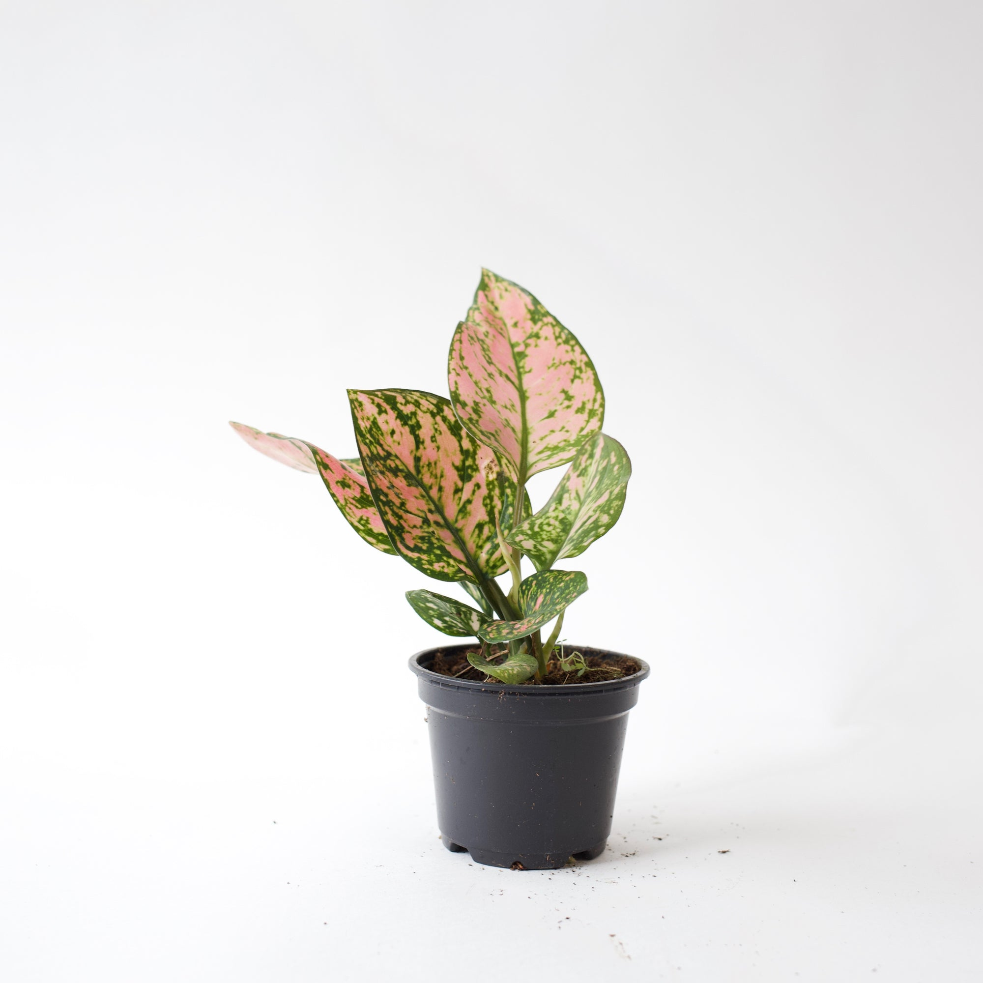 "4"" Aglaonema Red Valentine"