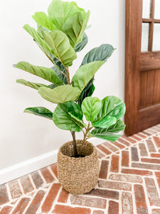 3' Potted Fig Plant - Leyland Blue