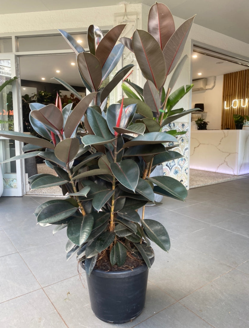 Ficus Burgundy 400mm