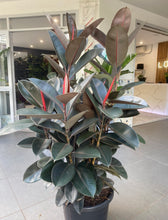 Load image into Gallery viewer, Ficus Burgundy 400mm