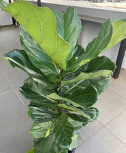 Load image into Gallery viewer, Ficus Lyrata 300mm $100