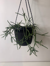 Load image into Gallery viewer, Rhipsalis Pilocarpa 170H
