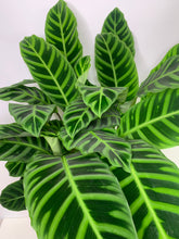 Load image into Gallery viewer, calathea zebrine 250mm