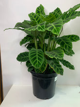 Load image into Gallery viewer, Calathea zebrina 300mm