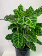 Load image into Gallery viewer, calathea zebrine 200mm