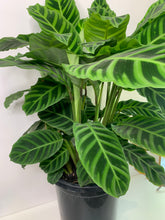 Load image into Gallery viewer, Calathea Zebrina 200mm