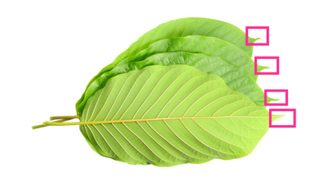 Infographic image of several kratom leaves with rounded edges, but a pointed tip