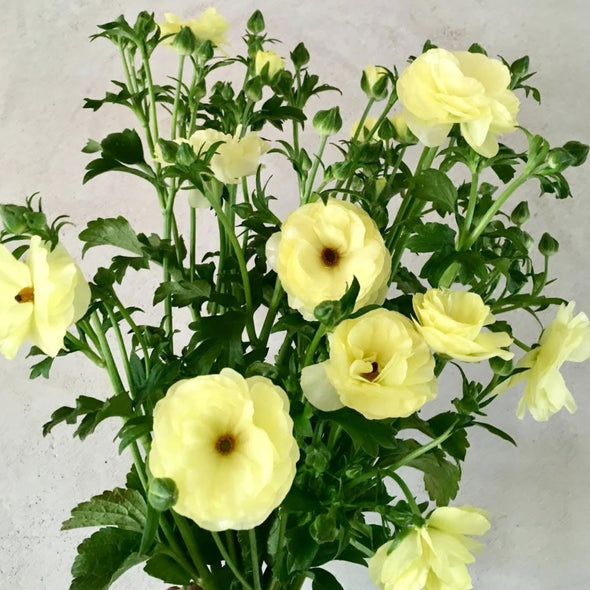 Fresh Cut Flowers Shipped || Butter Yellow Butterfly Ranunculus