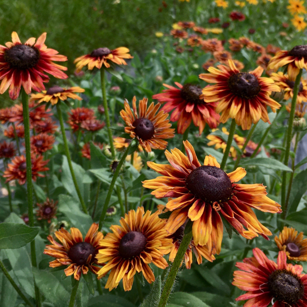 Rudbeckia- Cherokee Sunset Mix